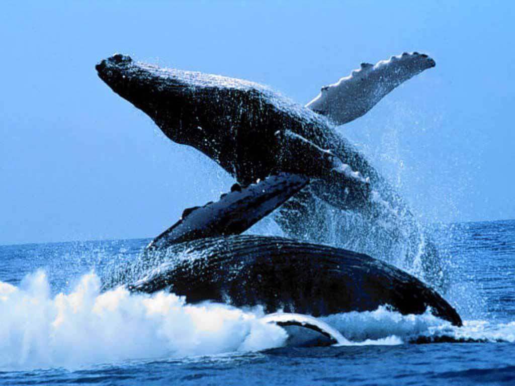 Фото пенисов у китов 21 фотография